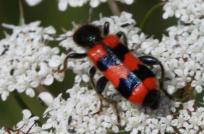 Clairon des abeilles Trichodes apiarius (Linnaeus, 1758)