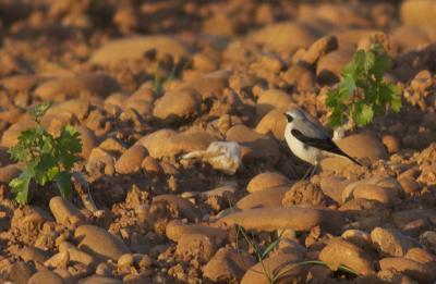 Traquet motteux Oenanthe oenanthe (Linnaeus, 1758)