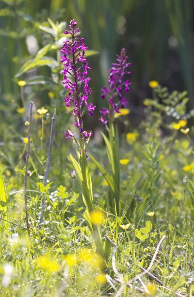 Orchis à fleurs lâches Anacamptis laxiflora (Lam.) R.M.Bateman, Pridgeon & M.W.Chase, 1997