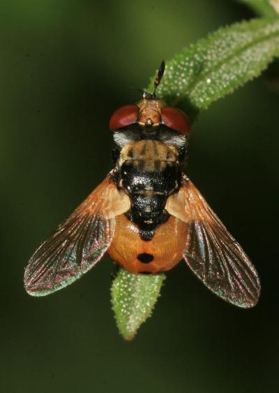 Gymnosoma rotundatum (Linnaeus, 1758)