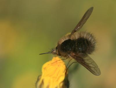 Bombylius trichurus Pallas, 1818