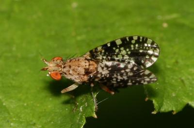 Trypetoptera punctulata (Scopoli, 1763)