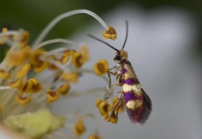 Micropterix aglaella (Duponchel, 1838)