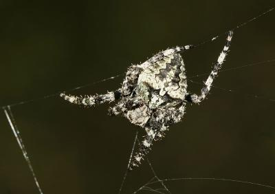 Épeire angulaire Araneus angulatus Clerck, 1758