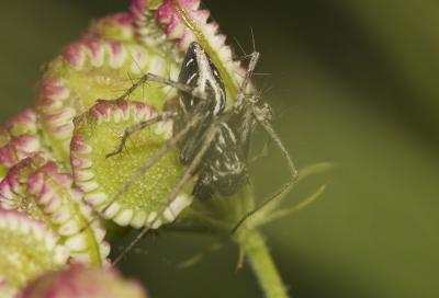 Araignée-lynx Oxyopes heterophthalmus (Latreille, 1804)