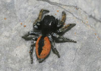 Saltique sanguinolent Philaeus chrysops (Poda, 1761)