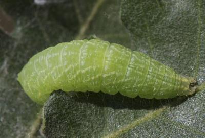 Halias du chêne Bena bicolorana (Fuessly, 1775)