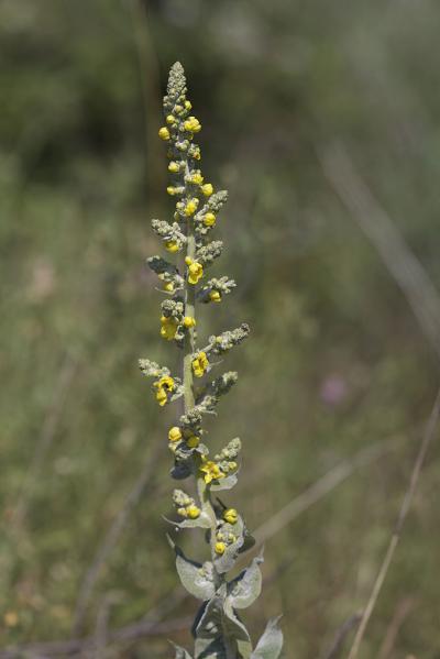Molène bouillon-blanc, Herbe de saint Fiacre Verbascum thapsus L., 1753