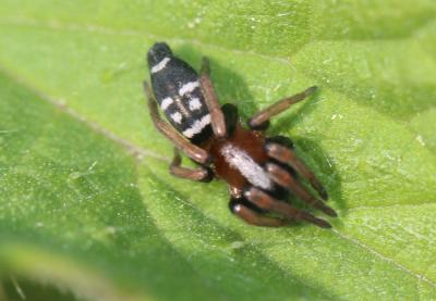 Poecilochroa variana (C.L. Koch, 1839)