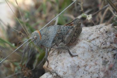 Criquet rhodanien, Miramelle des moraines, Criquet Prionotropis rhodanica Uvarov, 1923