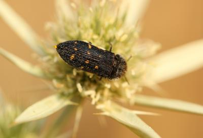 Acmaeoderella flavofasciata flavofasciata (Piller & Mitterpacher, 1783)