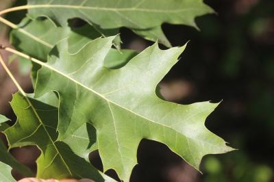 Chêne rouge d'Amérique Quercus rubra L., 1753