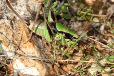 Eupholidoptera chabrieri chabrieri (Charpentier, 1825)