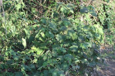Solanum capsicoides All., 1773