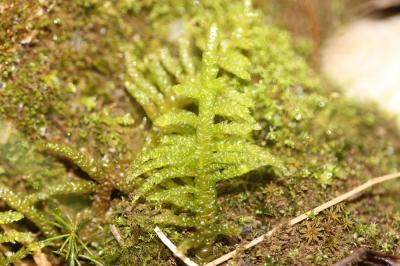 Pseudoscleropodium purum (Hedw.) M.Fleisch., 1923