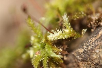 Brachytheciastrum velutinum (Hedw.) Ignatov & Huttunen, 2002