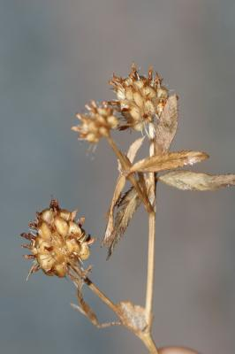 Trèfle raide Trifolium strictum L., 1755