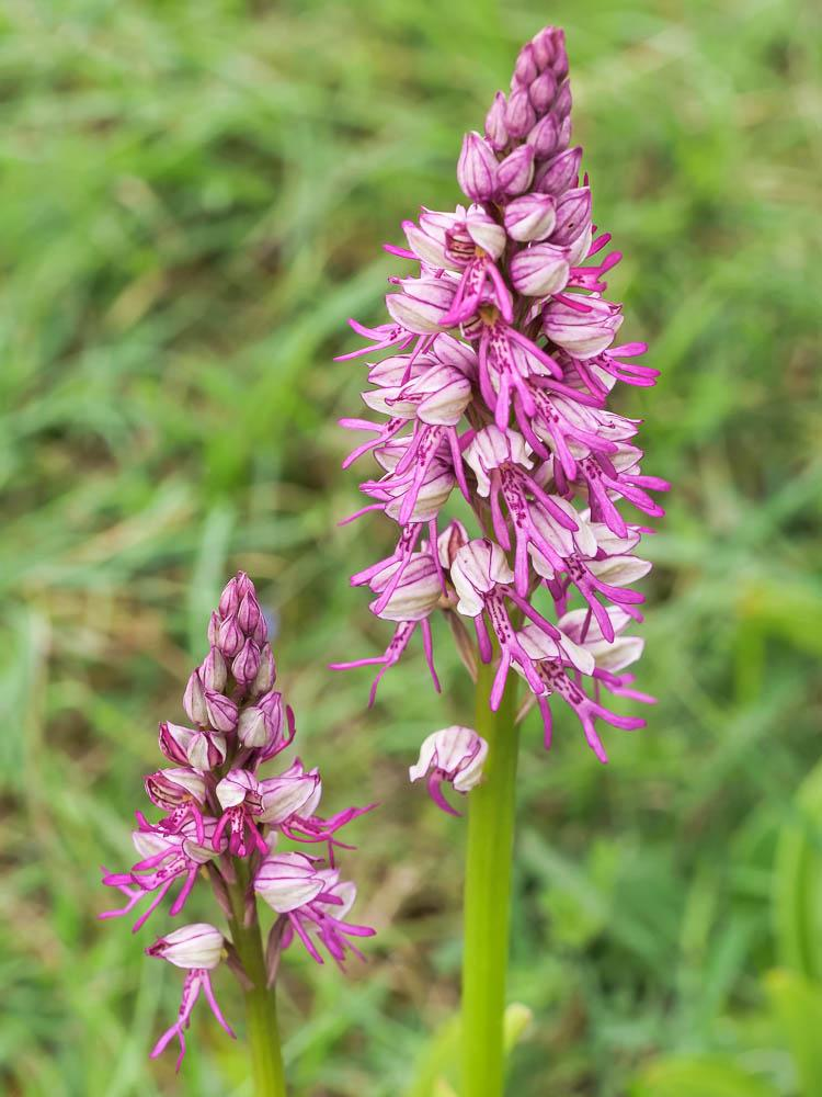 Orchis x spuria Rchb.f., 1849