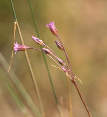 Ail à fleurs peu nombreuses Allium parciflorum Viv., 1825