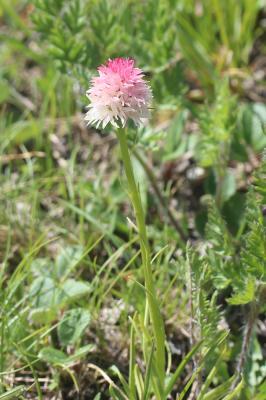Nigritelle de Cornelia, Nigritelle rose Gymnadenia nigra subsp. corneliana (Beauverd) J.-M.Tison, 2010