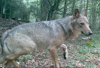 Loup gris Canis lupus Linnaeus, 1758