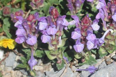 Scutellaire des Alpes Scutellaria alpina L., 1753