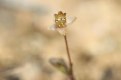 Sagine dressée Sagina apetala subsp. erecta F.Herm., 1912