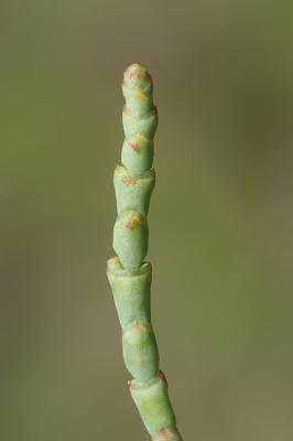 Salicorne à gros épis Arthrocnemum macrostachyum (Moric.) K.Koch, 1853