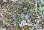 Globulaire commune Globularia vulgaris L., 1753