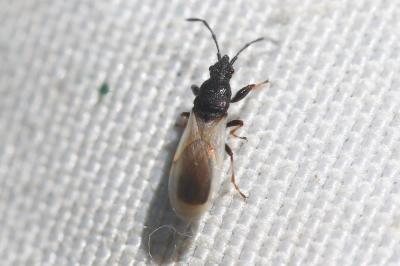 Brachyplax tenuis (Mulsant & Rey, 1852)