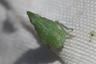 Dictyophara
