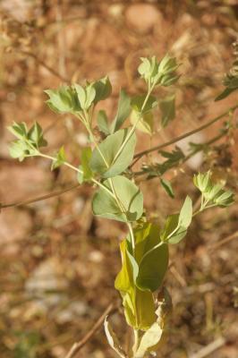 Buplèvre à feuilles rondes, Oreille-de-lièvre Bupleurum rotundifolium L., 1753