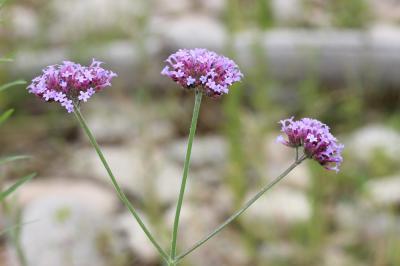 Verveine Verbena bonariensis L., 1753