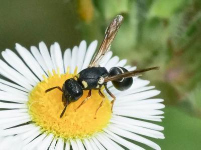 Leptochilus regulus