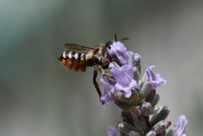 Megachile albisecta (Klug, 1817)