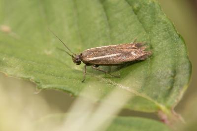 Scythris knochella (Fabricius, 1794)