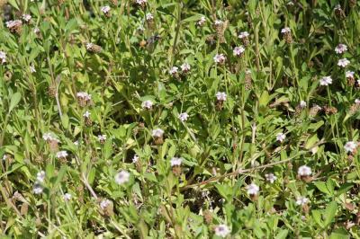 Phyla à fleurs nodales Phyla nodiflora (L.) Greene, 1899