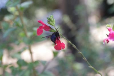 Sauge à petites feuilles Salvia microphylla Kunth, 1818