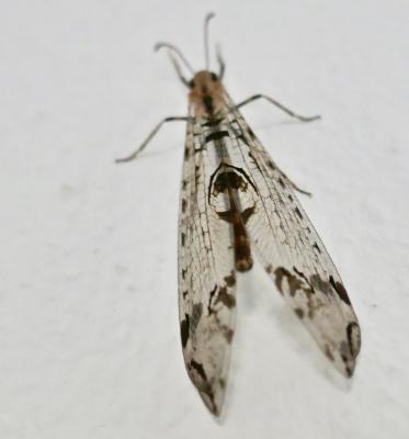 Dendroleon pantherinus