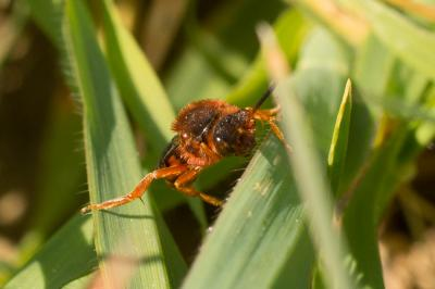 Nomada agrestis Fabricius, 1787
