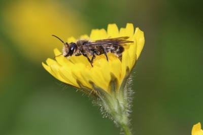 Chelostoma florisomne (Linnaeus, 1758)
