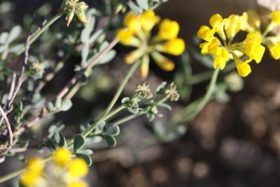 Coronille mineure Coronilla minima subsp. minima L., 1756