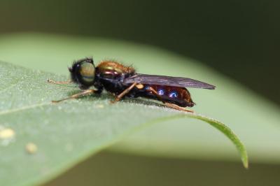 Chloromyia speciosa (Macquart, 1834)