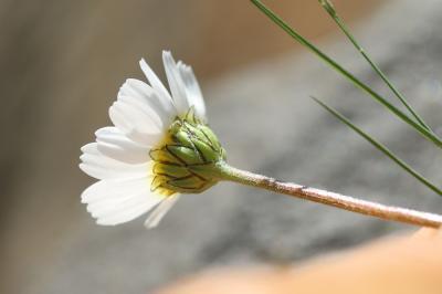 Marguerite des Alpes, Leucanthémopsis des Alpes Leucanthemopsis alpina (L.) Heywood, 1975