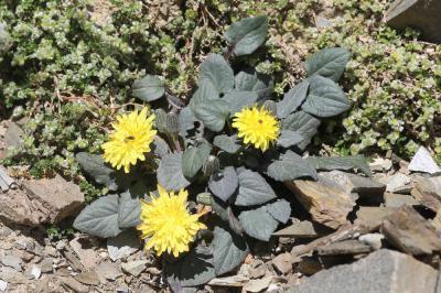 Crépide naine, Crépis nain Crepis pygmaea L., 1753