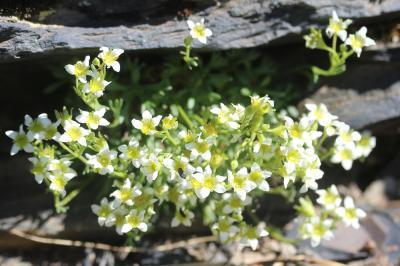 Saxifrage pubescente Saxifraga pubescens Pourr., 1788