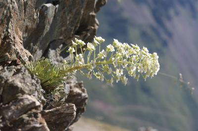 Saxifrage à feuilles longues, Saxifrage à longues  Saxifraga longifolia Lapeyr., 1801