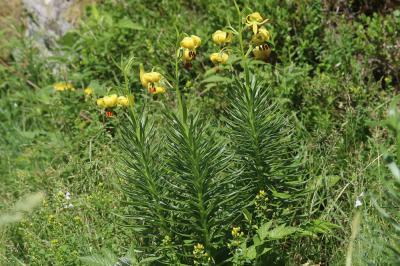 Lis des Pyrénées Lilium pyrenaicum Gouan, 1773