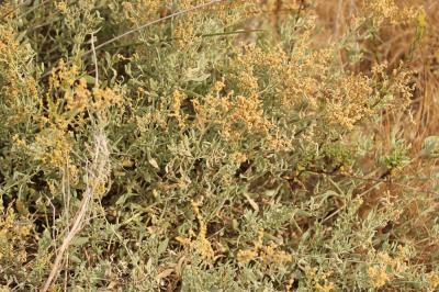 Obione faux pourpier, Obione Pourpier Halimione portulacoides (L.) Aellen, 1938