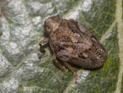 Isside commun Issus coleoptratus (Fabricius, 1781)